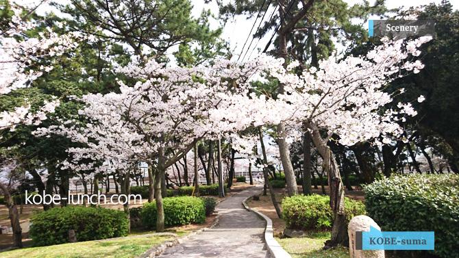 須磨浦公園の桜の花見