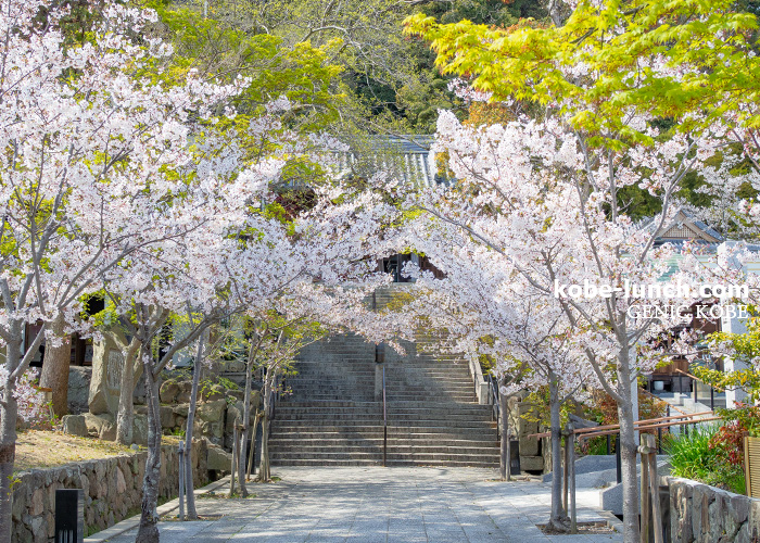 須磨寺 桜