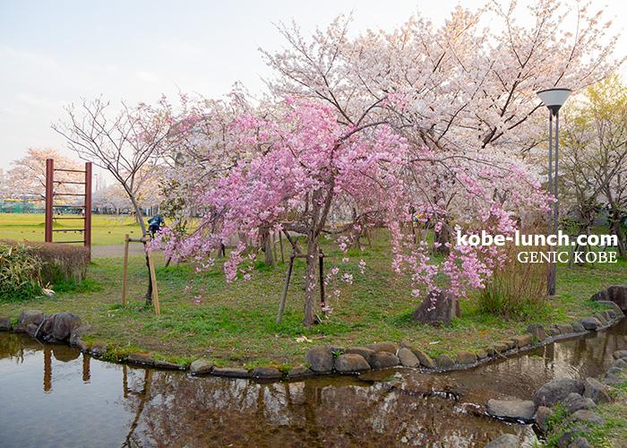 兵庫 御崎公園 桜