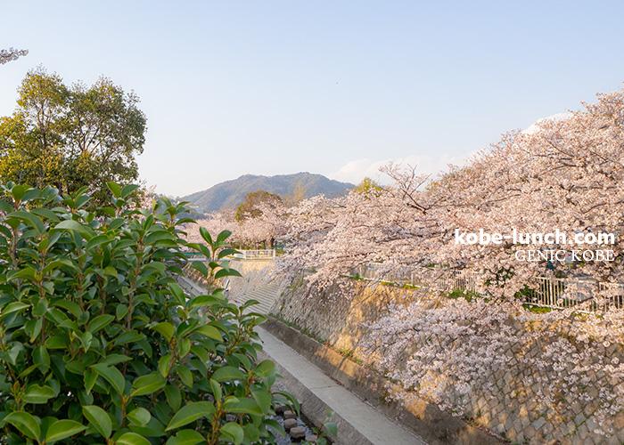 須磨・権現さん 桜