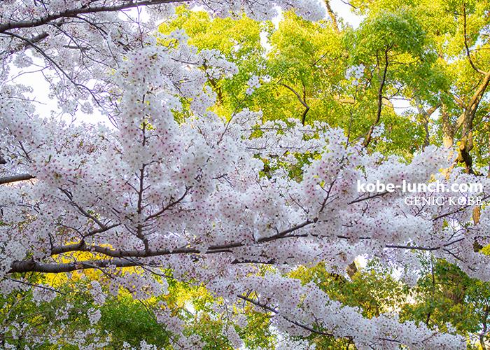 兵庫県公館 桜