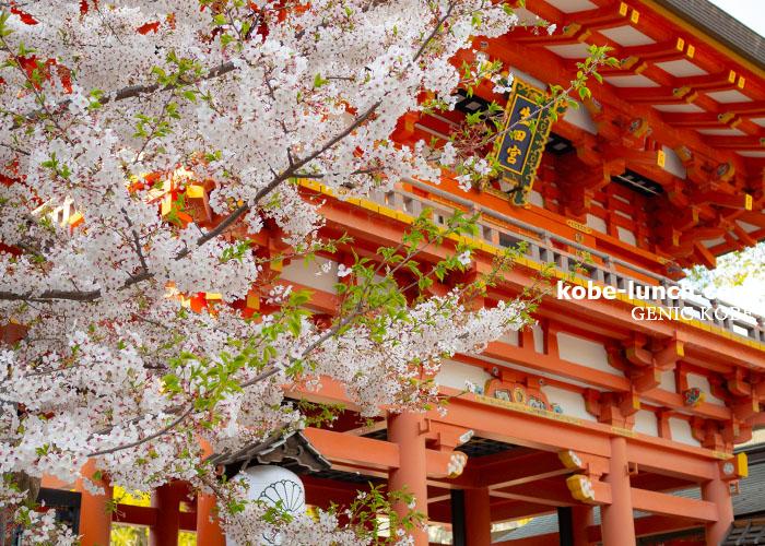 生田神社 桜