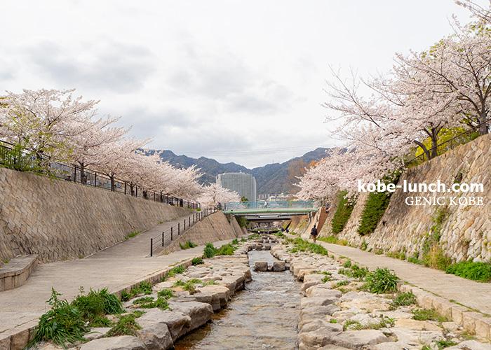 灘区・都賀川公園 桜