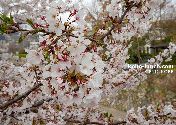 都賀川公園 桜