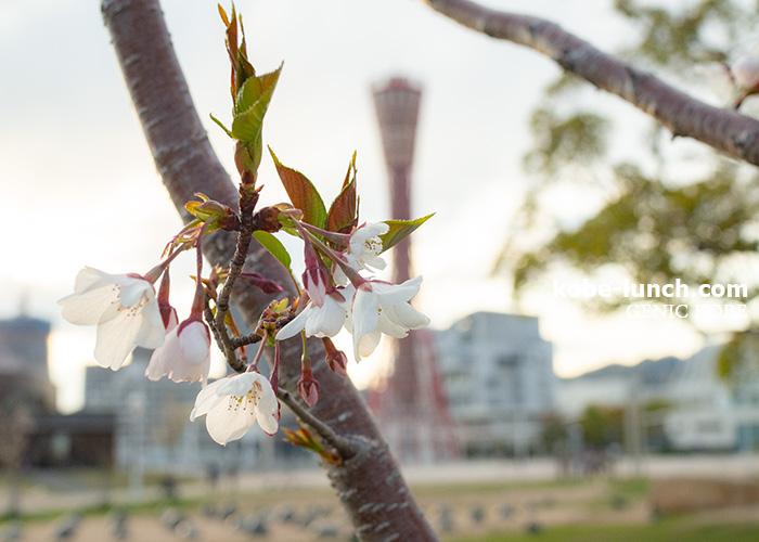 メリケンパーク 桜